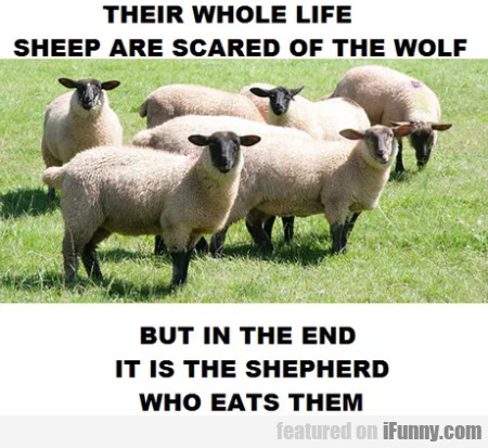 Their Whole Life Sheep Are Scared Of The Wolf...