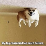 My Dog Consumed Too Much Helium