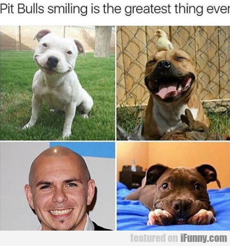 Pit Bulls Smiling Is The Greatest Thing Ever