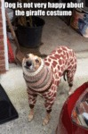 Dog Is Not Very Happy About The Giraffe Costume...