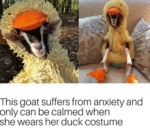This Goat Suffers From Anxiety And Only Can Be...