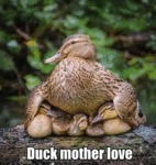 Duck Mother Love