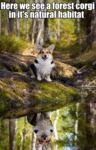 Here We See A Forest Corgi In It's Natural Habitat