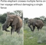 Polite Elephant Crosses Multiple Farms On Her...