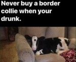 Never Buy A Border Collie When Your Drunk