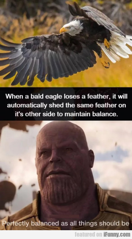 When A Bald Eagle Loses A Feather, It Will...