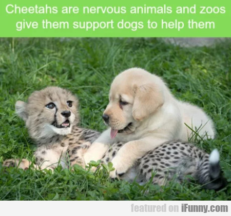 Cheetahs Are Nervous Animals And Zoos Give...
