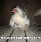 Hen Guarding Kittens During A Storm