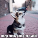 Corgi Puppy Going For A Walk