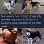 Fascinated At How Crossing A Corgi With...