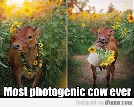 Most Photogenic Cow Ever