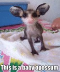 This Is A Baby Opossum