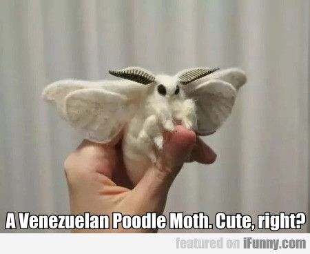A Venezuelan Poodle Moth. Cute, Right?