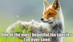 One Of The Most Beautiful Fox Species I've Ever...