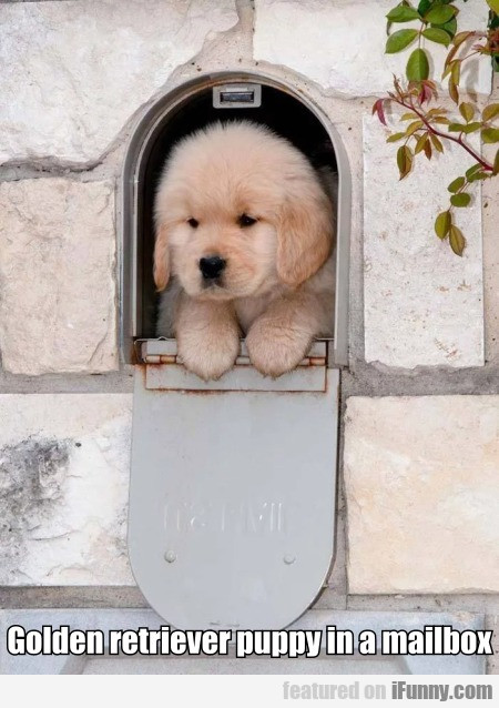 Golden Retriever Puppy In A Mailbox