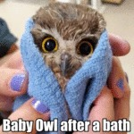 Baby Owl After A Bath...