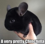 A Very Pretty Chinchilla