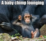A Baby Chimp Lounging