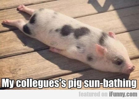 My collegues's pig sun-bathing