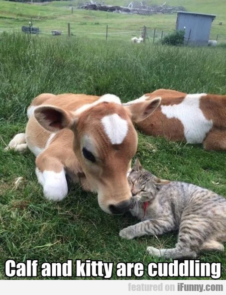 Calf And Kitty Are Cuddling