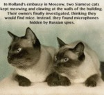 In Holland's Embassy Of Moscow, Two Siamese Cats..