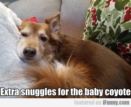 Extra snuggles for the baby coyote