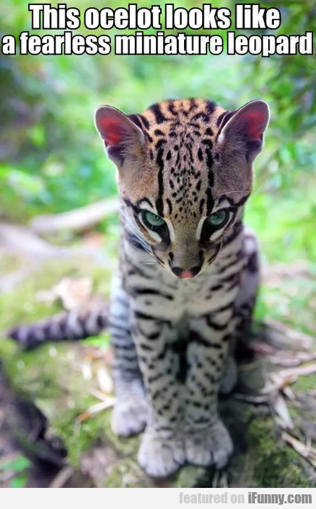 This Ocelot Looks Like A Fearless Miniature...