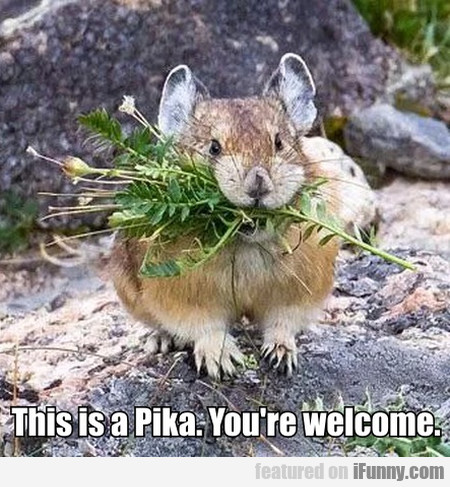 This Is A Pika. You're Welcome