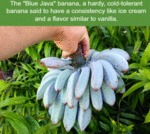 The Blue Java Banana, A Hardy Cold-tolerant...