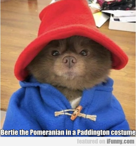 Bertie the Pomeranian in a Paddington costume