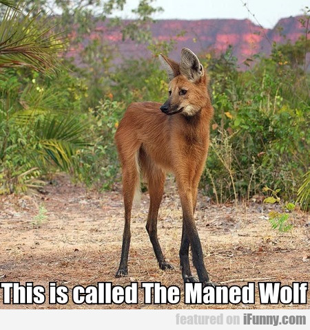 This Is Called The Maned Wolf