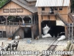 First Ever Giant Cat - 1892, Colorized