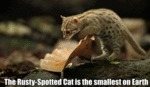 The Rusty-spotted Cat Is The Smallest On Earth