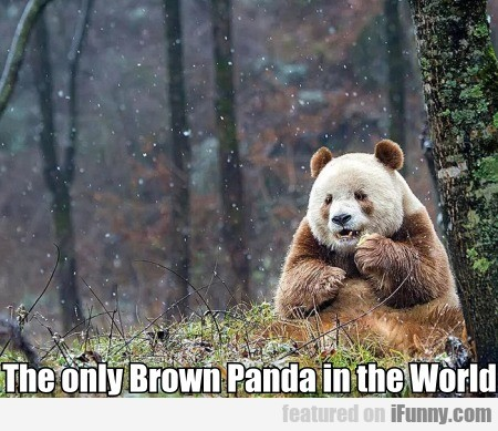 The Only Brown Panda In The World