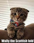 Wally The Scottish Fold