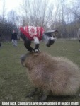Good Luck, Capibaras Are Incarnations Of Peace..