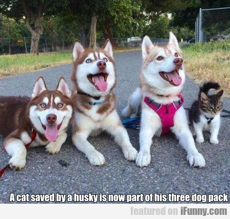A Cat Saved By A Husky Is Now Part Of His Three...