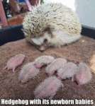 Hedgehog With Its Newborn Babies