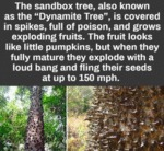 The Sandbox Tree, Also Known As The...