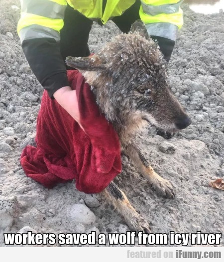 Workers Saved A Wolf From Icy River