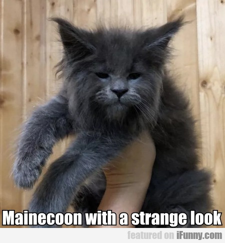 Mainecoon With A Strange Look