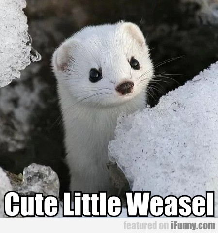 Cute Little Weasel