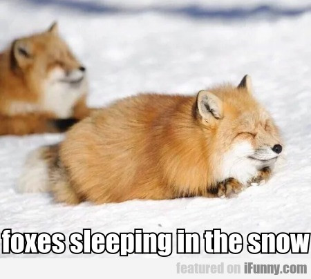 foxes sleeping in the snow
