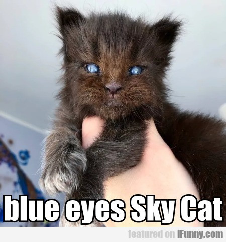 blue eyes Sky Cat
