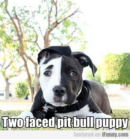 Two Faced Pit Bull Puppy