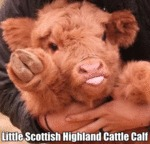 Little Scottish Highland Cattle Calf
