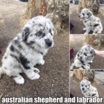 Australian Shepherd And Labrador
