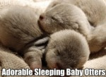 Adorable Sleeping Baby Otters