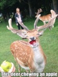 This Deer Chewing An Apple