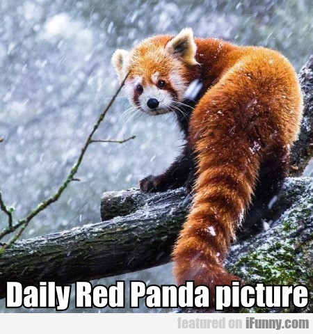 Daily Red Panda Picture